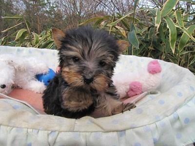 ヨークシャーテリアの子犬(ID:1232811090)の1枚目の写真/更新日:2015-12-16