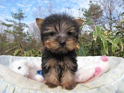 ヨークシャーテリアの子犬(ID:1232811090)の2枚目の写真/更新日:2015-12-16