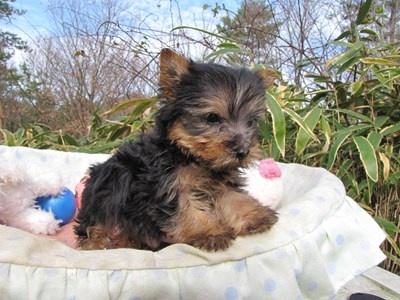ヨークシャーテリアの子犬(ID:1232811090)の4枚目の写真/更新日:2015-12-16