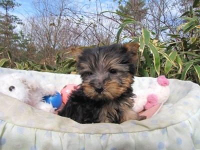 ヨークシャーテリアの子犬(ID:1232811090)の5枚目の写真/更新日:2015-12-16