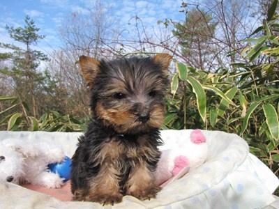 ヨークシャーテリアの子犬(ID:1232811090)の6枚目の写真/更新日:2015-12-16