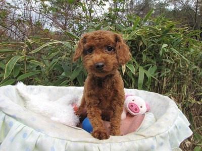 トイプードルの子犬(ID:1232811091)の2枚目の写真/更新日:2015-11-27