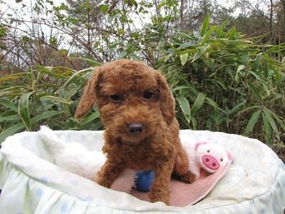 トイプードルの子犬(ID:1232811091)の3枚目の写真/更新日:2015-11-27
