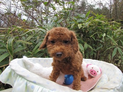 トイプードルの子犬(ID:1232811091)の4枚目の写真/更新日:2015-11-27