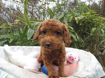 トイプードルの子犬(ID:1232811091)の5枚目の写真/更新日:2015-11-27