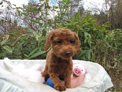 トイプードルの子犬(ID:1232811091)の6枚目の写真/更新日:2015-11-27