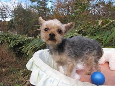 ヨークシャーテリアの子犬(ID:1232811092)の2枚目の写真/更新日:2015-12-02