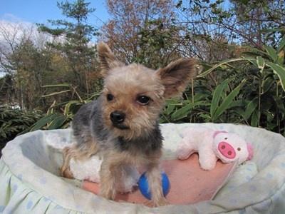 ヨークシャーテリアの子犬(ID:1232811092)の4枚目の写真/更新日:2015-12-02
