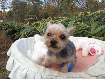 ヨークシャーテリアの子犬(ID:1232811092)の5枚目の写真/更新日:2015-12-02