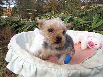 ヨークシャーテリアの子犬(ID:1232811092)の6枚目の写真/更新日:2015-12-02