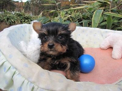 ヨークシャーテリアの子犬(ID:1232811093)の1枚目の写真/更新日:2015-12-03