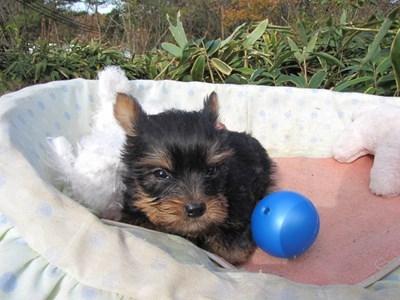 ヨークシャーテリアの子犬(ID:1232811093)の2枚目の写真/更新日:2015-12-03
