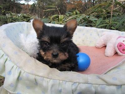 ヨークシャーテリアの子犬(ID:1232811093)の3枚目の写真/更新日:2015-12-03