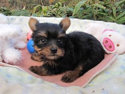 ヨークシャーテリアの子犬(ID:1232811093)の4枚目の写真/更新日:2015-12-03