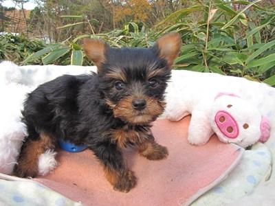 ヨークシャーテリアの子犬(ID:1232811093)の5枚目の写真/更新日:2015-12-03