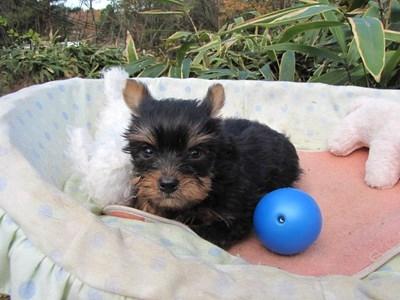 ヨークシャーテリアの子犬(ID:1232811093)の6枚目の写真/更新日:2015-12-03