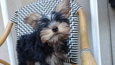 ヨークシャーテリアの子犬(ID:1232811094)の1枚目の写真/更新日:2015-12-04