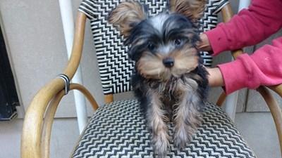 ヨークシャーテリアの子犬(ID:1232811094)の3枚目の写真/更新日:2015-12-04