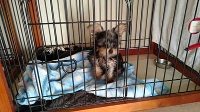 ヨークシャーテリアの子犬(ID:1232811094)の4枚目の写真/更新日:2015-12-04