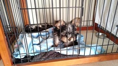 ヨークシャーテリアの子犬(ID:1232811094)の5枚目の写真/更新日:2015-12-04