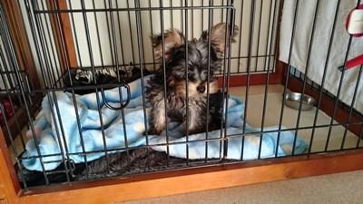 ヨークシャーテリアの子犬(ID:1232811094)の6枚目の写真/更新日:2015-12-04