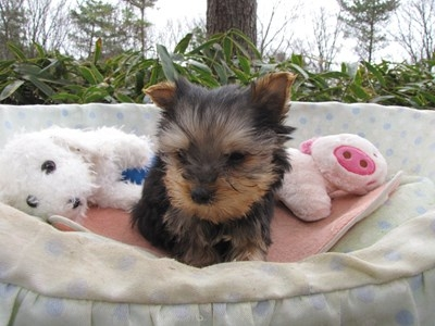 ヨークシャーテリアの子犬(ID:1232811095)の1枚目の写真/更新日:2015-12-18
