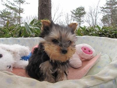 ヨークシャーテリアの子犬(ID:1232811095)の2枚目の写真/更新日:2015-12-18