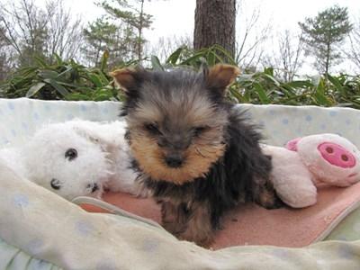 ヨークシャーテリアの子犬(ID:1232811095)の3枚目の写真/更新日:2015-12-18