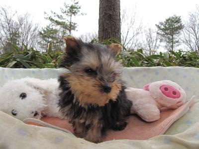 ヨークシャーテリアの子犬(ID:1232811095)の4枚目の写真/更新日:2015-12-18