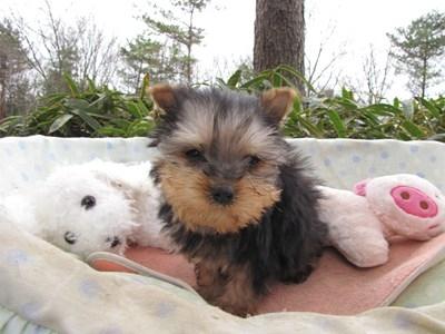 ヨークシャーテリアの子犬(ID:1232811095)の5枚目の写真/更新日:2015-12-18