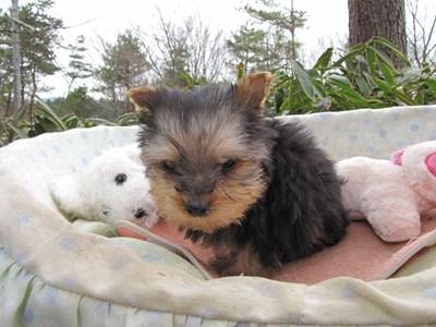 ヨークシャーテリアの子犬(ID:1232811095)の6枚目の写真/更新日:2015-12-18