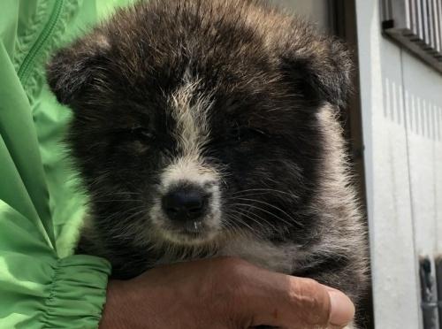 秋田犬の子犬(ID:1232911001)の3枚目の写真/更新日:2019-05-16