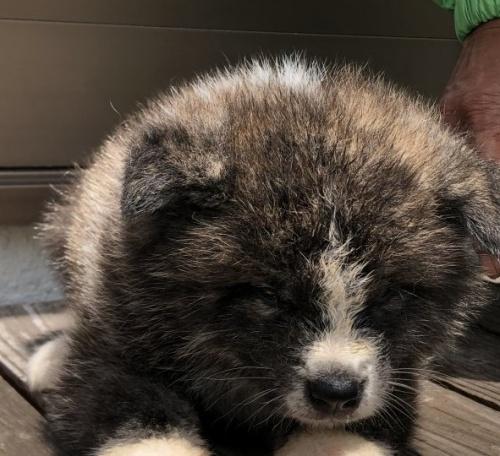 秋田犬の子犬(ID:1232911001)の4枚目の写真/更新日:2019-05-16