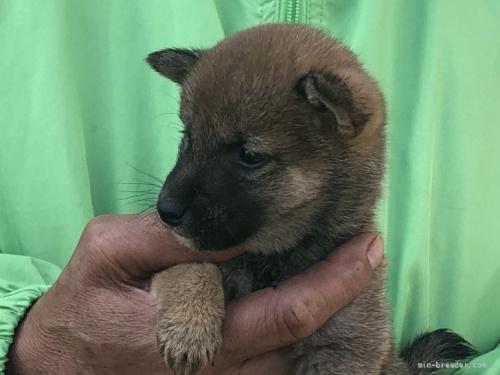 柴犬の子犬(ID:1232911003)の3枚目の写真/更新日:2020-09-23
