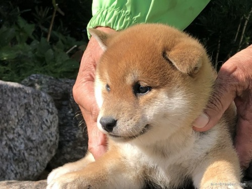 柴犬の子犬(ID:1232911006)の3枚目の写真/更新日:2020-09-15