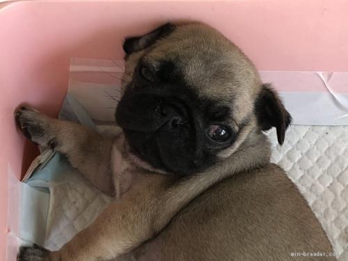 パグの子犬(ID:1232911008)の1枚目の写真/更新日:2020-05-15