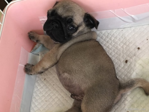 パグの子犬(ID:1232911008)の2枚目の写真/更新日:2019-09-09