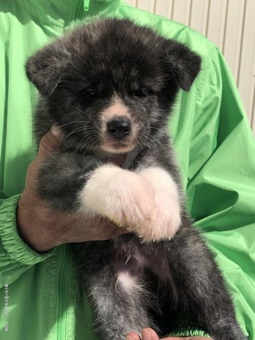 秋田犬の子犬(ID:1232911013)の1枚目の写真/更新日:2019-05-16