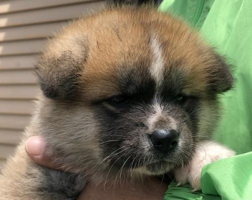 秋田犬の子犬(ID:1232911026)の1枚目の写真/更新日:2019-05-16
