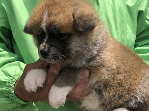 秋田犬の子犬(ID:1232911026)の3枚目の写真/更新日:2019-05-16