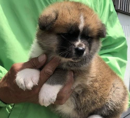 秋田犬の子犬(ID:1232911026)の4枚目の写真/更新日:2019-05-16