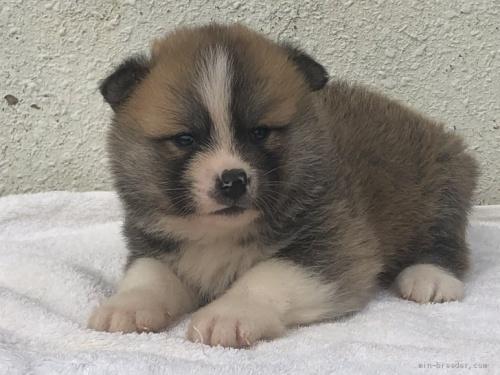 秋田犬の子犬(ID:1232911027)の1枚目の写真/更新日:2019-05-16