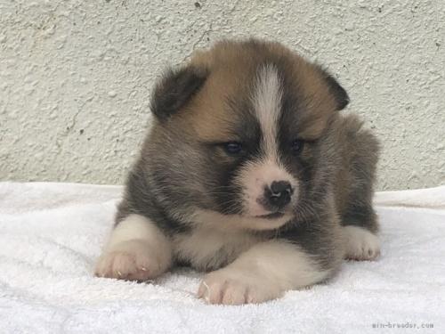 秋田犬の子犬(ID:1232911027)の3枚目の写真/更新日:2019-05-16