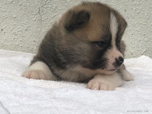 秋田犬の子犬(ID:1232911027)の4枚目の写真/更新日:2019-05-16