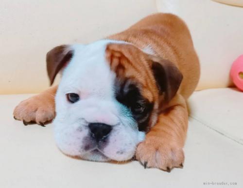 ブルドッグの子犬(ID:1232911061)の1枚目の写真/更新日:2021-07-05