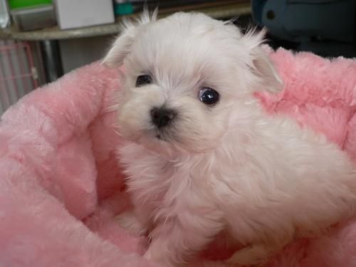マルチーズの子犬(ID:1232911069)の2枚目の写真/更新日:2017-01-14