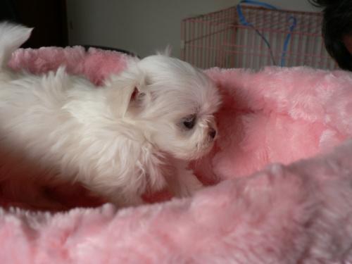 マルチーズの子犬(ID:1232911069)の4枚目の写真/更新日:2017-01-14