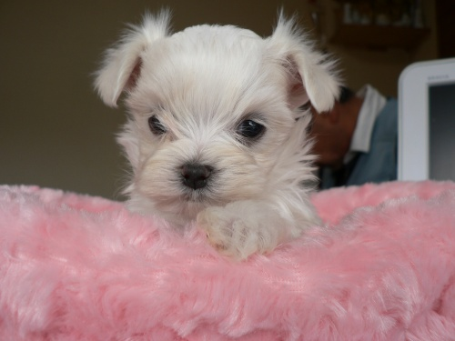 マルチーズの子犬(ID:1232911070)の2枚目の写真/更新日:2017-01-14