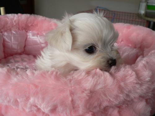 マルチーズの子犬(ID:1232911070)の3枚目の写真/更新日:2017-01-14