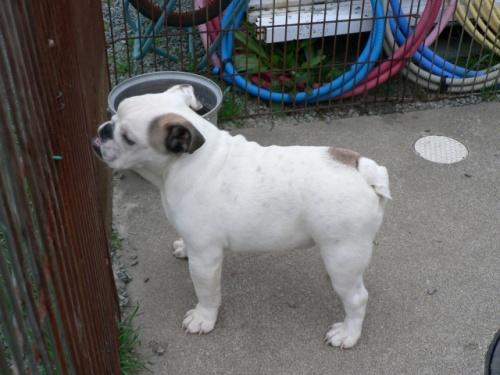 ブルドッグの子犬(ID:1232911075)の3枚目の写真/更新日:2017-03-08